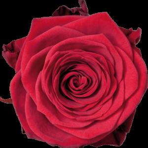 rosas rojas red naomi