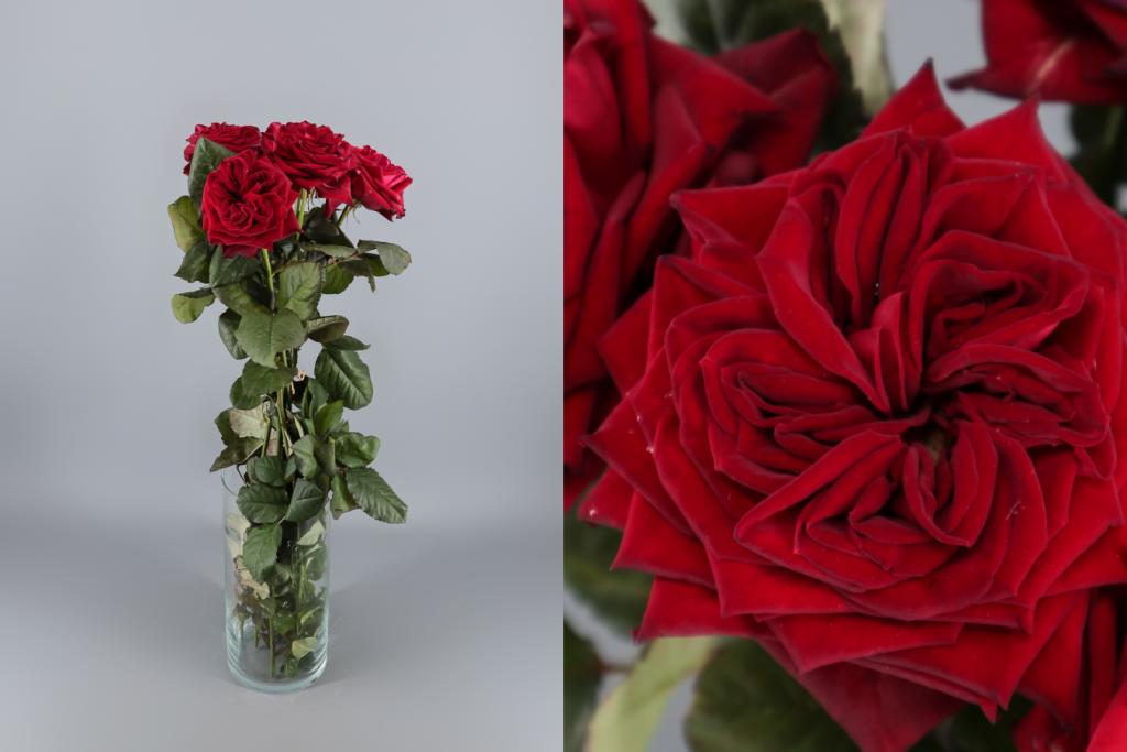 rosa roja de jardín red elegance