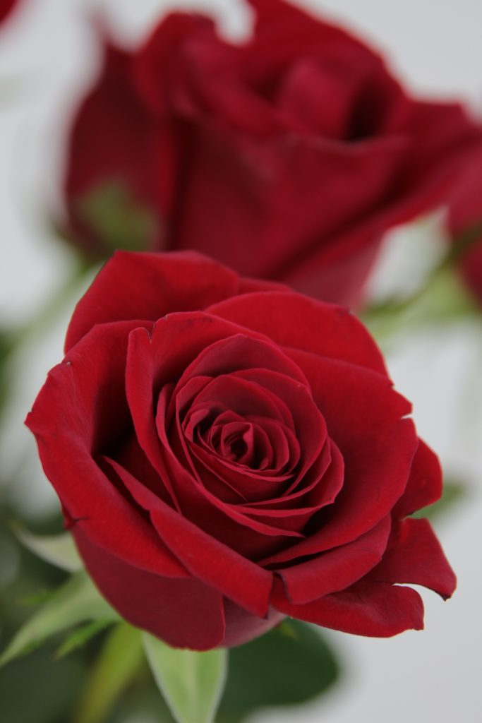 rosa roja freedom